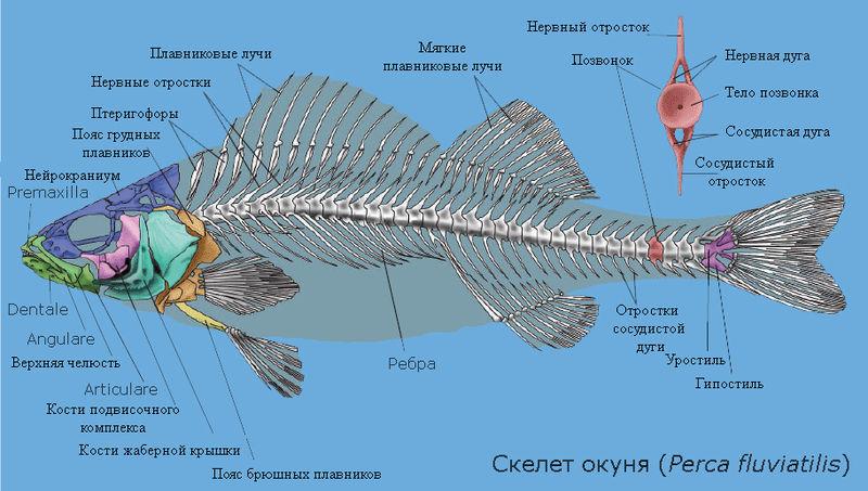 Особенности строения порно двигательной системы у рыб